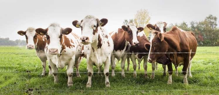 Kuvituskuva, jossa lehmiä
